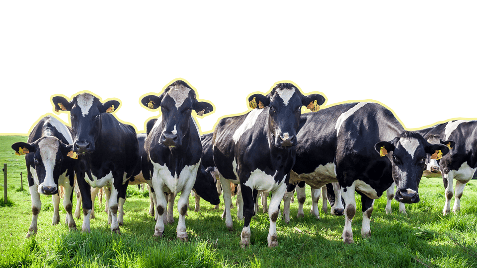 next up: world of dairy image of five dairy cows in a field looking forward