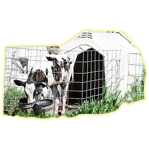 Those White Hutches on Dairy Farms – Are They for Veal Calves?